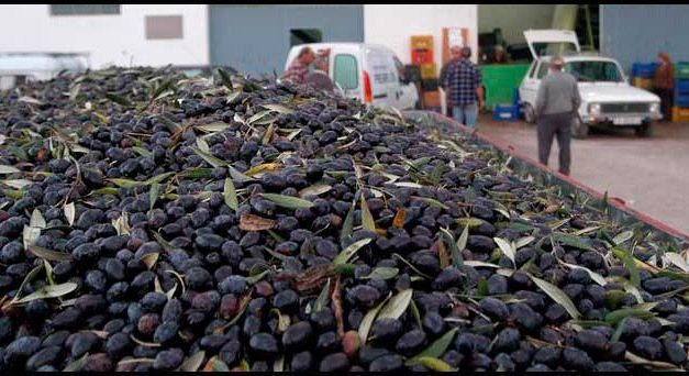 El Palancia espera una cosecha media de olivas para la esta campaña