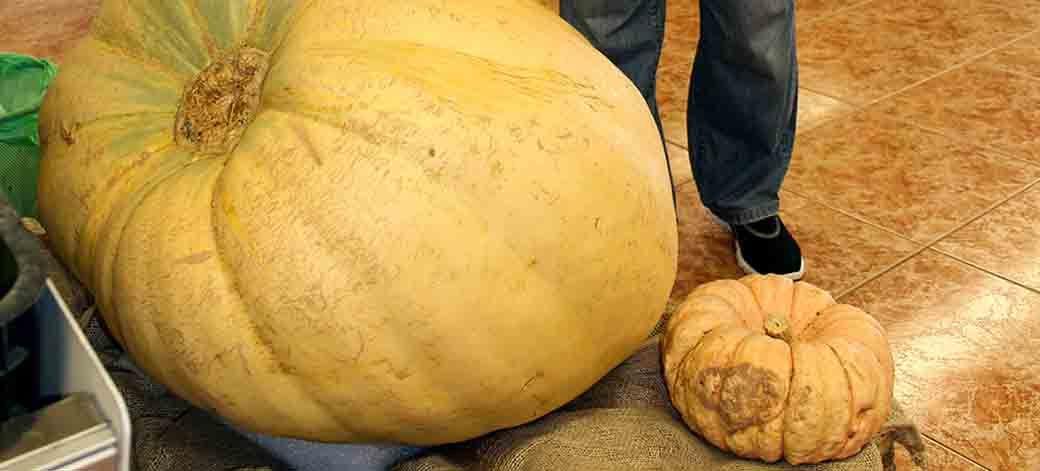 Calabaza gigante en Segorbe