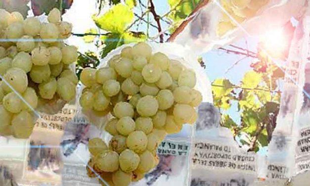 Otoño y las uvas