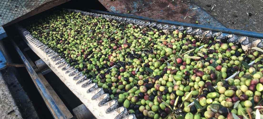 Interrumpen la admisión de olivas en Altura