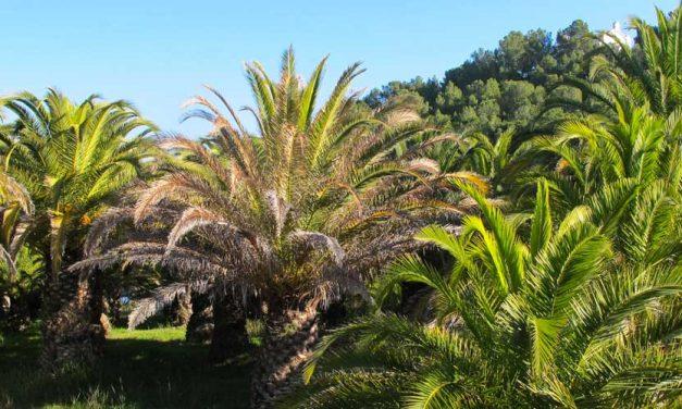 Identifican al hongo que azota el palmeral