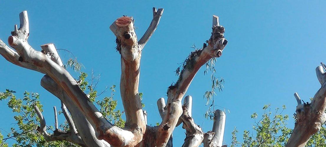 Criticas a la drástica poda de eucaliptos