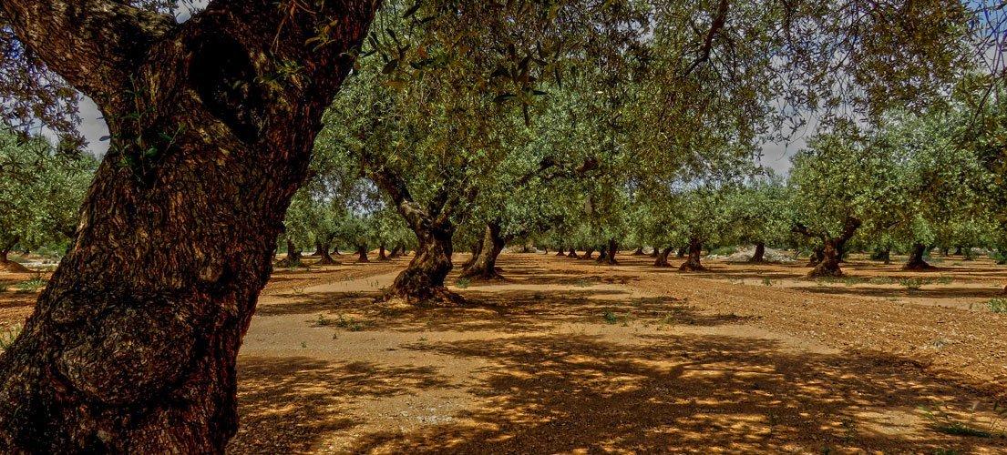 La esencia del olivo