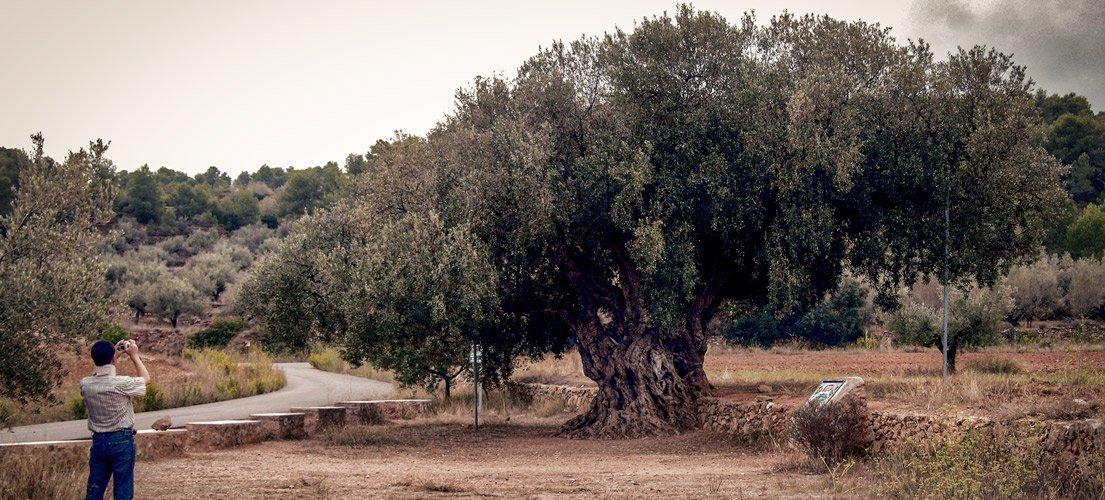 El olivo y la lluvia