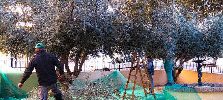 La brigada recoge las olivas de los jardines de Segorbe