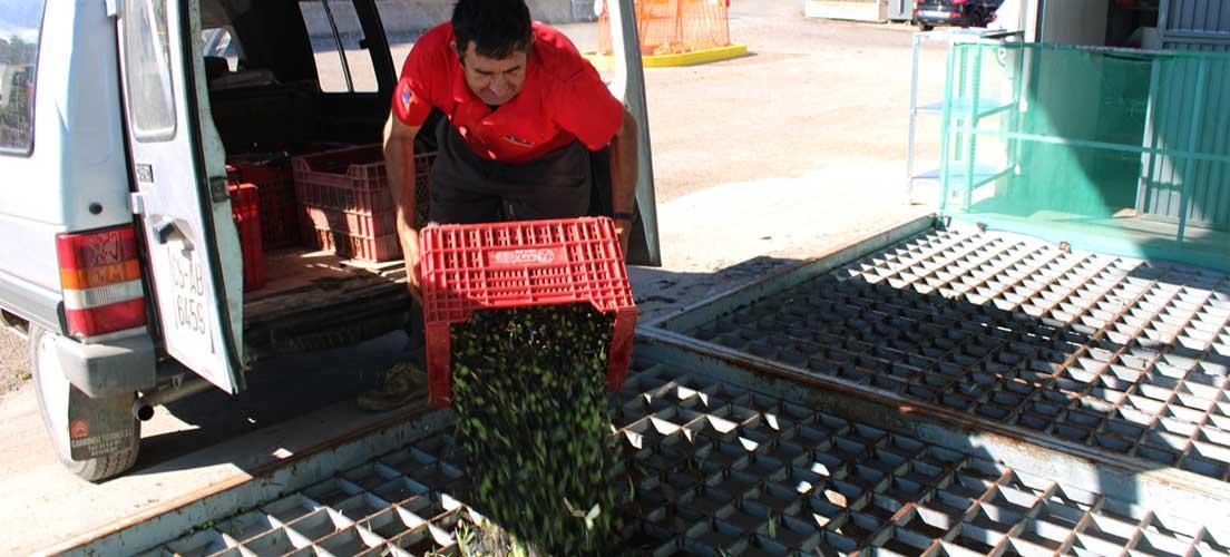 Comienza la campaña oleícola en Segorbe