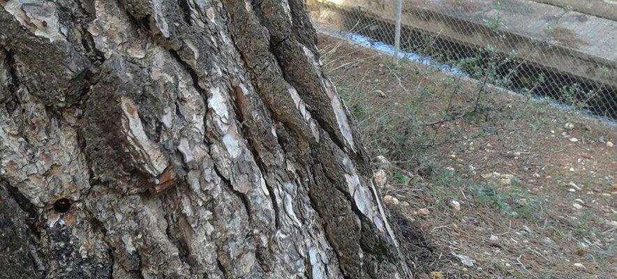 Denuncian la ineficacia del tratamiento aplicado a los pinos