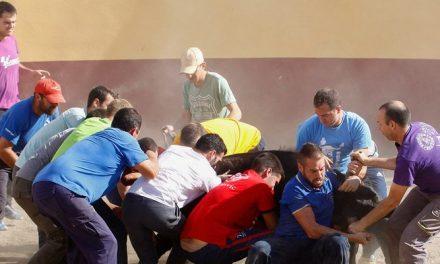 La ganadería Ramón Benet hierra sus reses en Altura