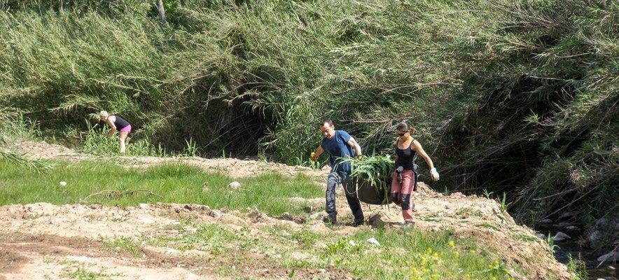 Vecinos de Cárrica limpian el río de rizomas de cañas