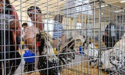 Sot de Ferrer organiza la II Feria Avícola