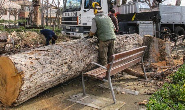 Talan los troncos de seis árboles muertos en la Glorieta de Segorbe