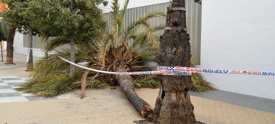 El viento trunca una gran palmera en Segorbe