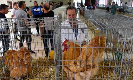 220 animales son expuestos en la Feria Avícola de Sot de Ferrer