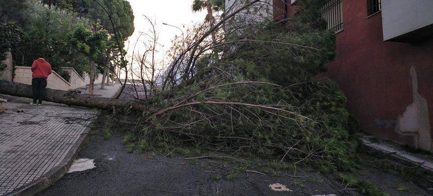 Un pino adulto se desploma sobre la calle en Soneja