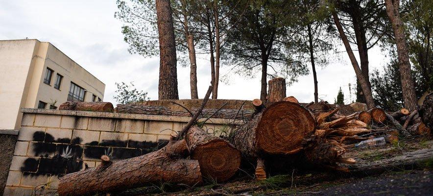 Soneja tala todos los pinos adultos del parque municipal