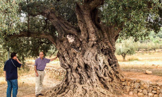 8 pueblos de la comarca podrán conseguir ayuda para árboles monumentales