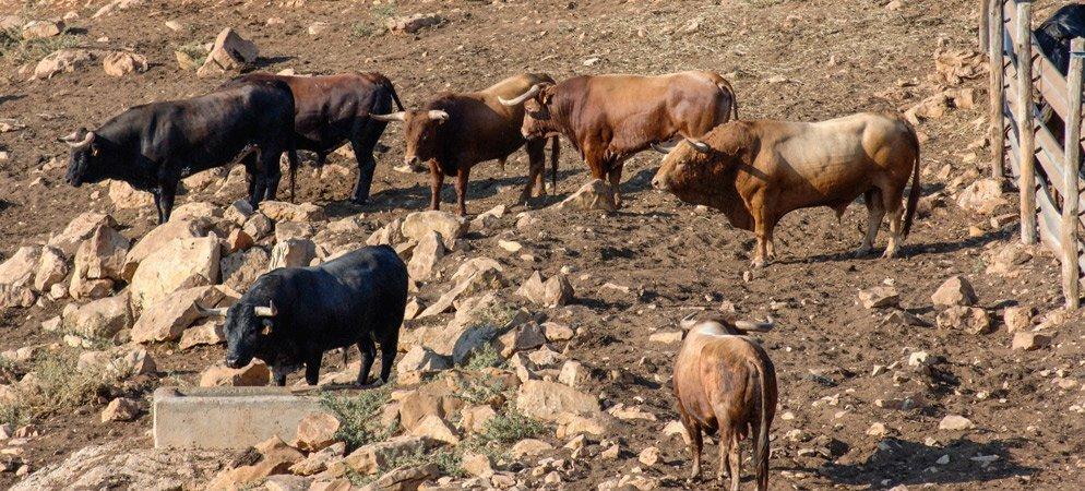 Diputación ayudará con 119.000 euros a las ganaderías taurinas
