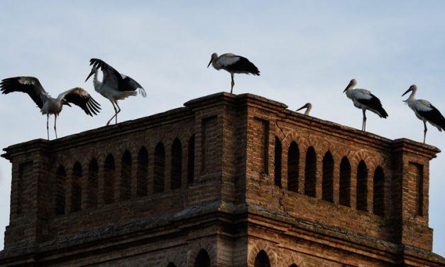 Las cigüeñas hacen un alto migratorio en Segorbe