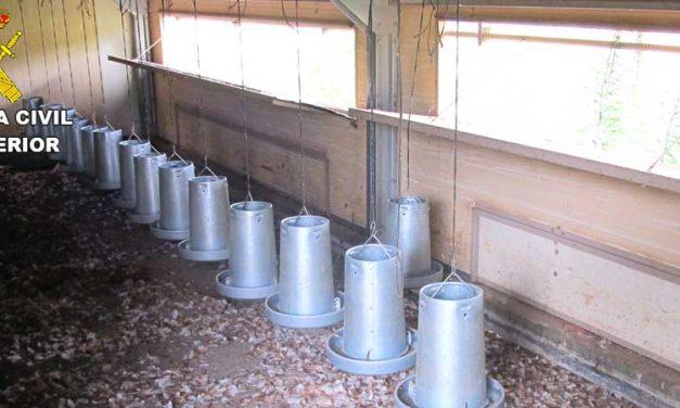 Investigan a un vecino de Soneja por el  presunto abandono de 100 gallinas