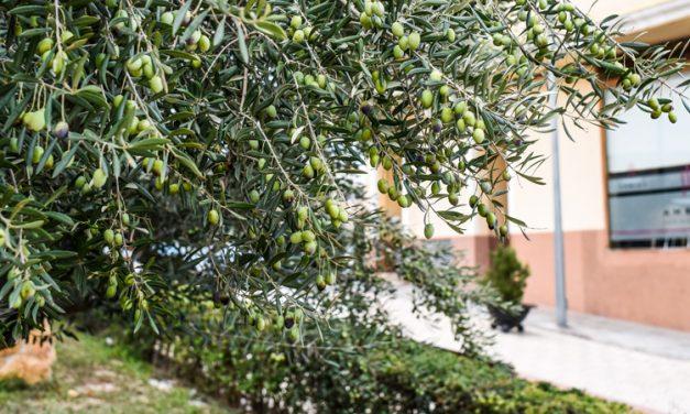 Segorbe licita la recogida de olivas de los jardines