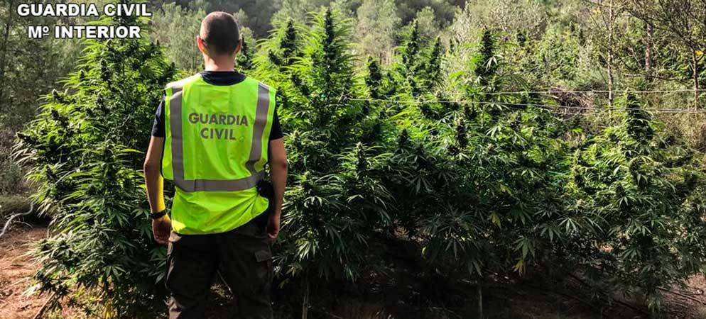 Descubren más de 530 plantas de marihuana en  Masquemado de Segorbe