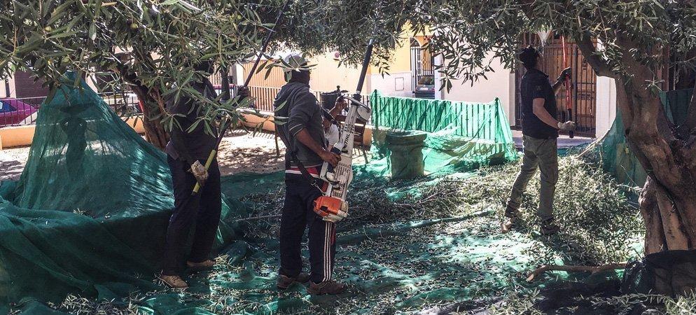 Palancia Sabores de Vida recoge la cosecha de olivas de los jardines