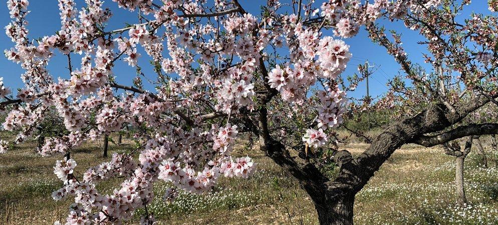 Viver organiza paseos y almuerzos entre almendros en flor