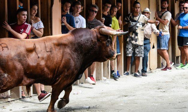 Segorbe amplia a siete los días de toros del concurso de ganaderías