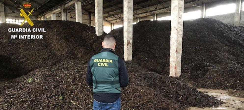 La GC refuerza medidas para descubrir el  robo de algarrobas