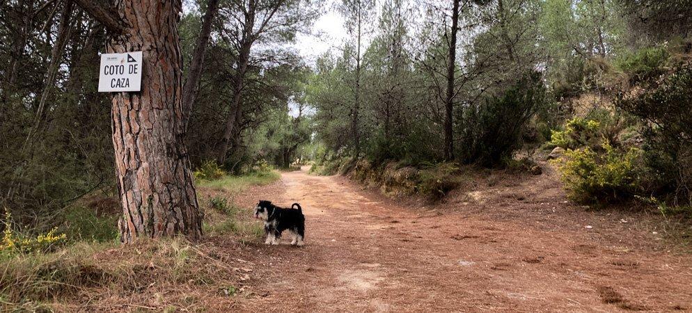 Se registran varios casos de perros intoxicados por la procesionaria del pino
