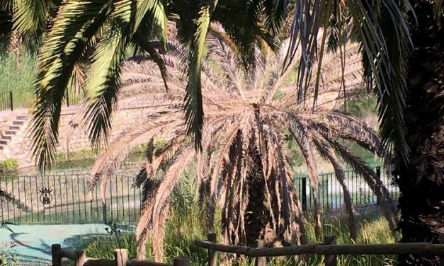El Consejo de Participación de La Esperanza decide sustituir las palmeras del manantial