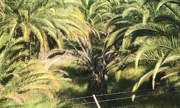Luis Gil critica el estado de abandono del palmeral de La Esperanza